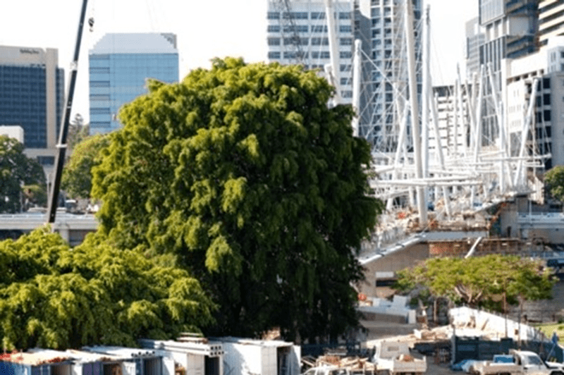 Preserving significant trees in cities.
